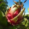 ゲッカビジンの果実