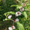 ニホンハッカの花と葉