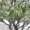 ユズリハの木