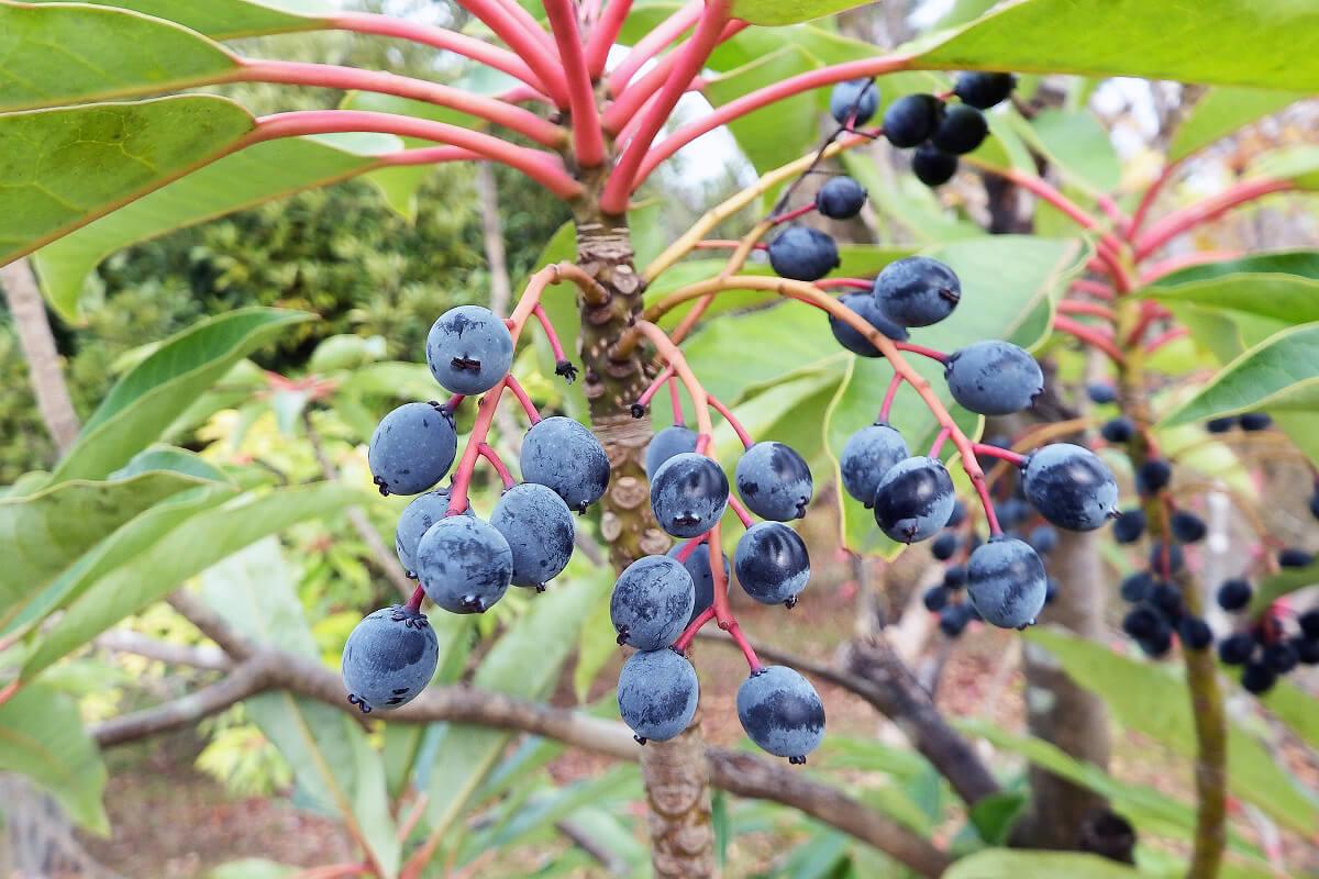 ユズリハの熟した果実