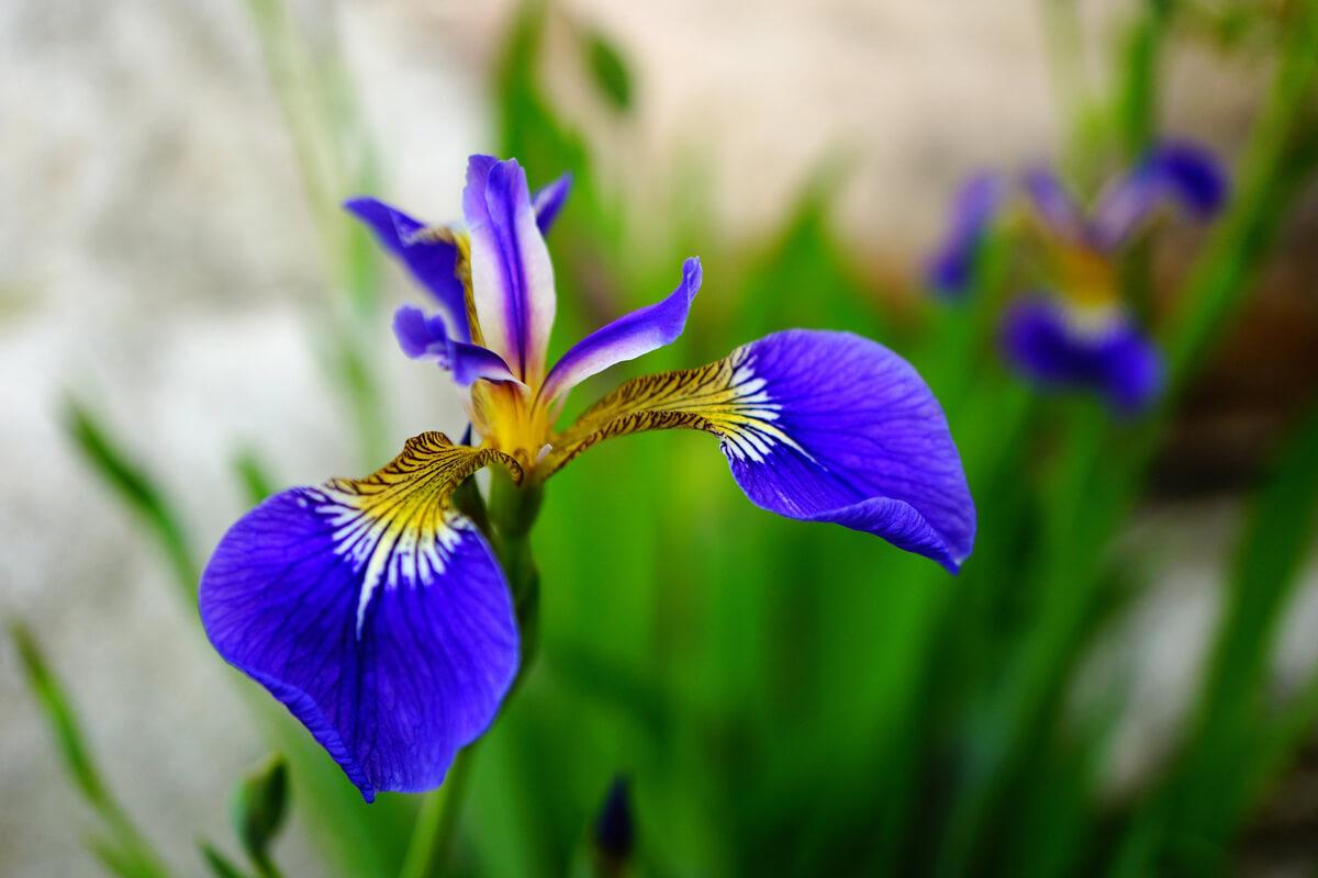 アヤメの青い花