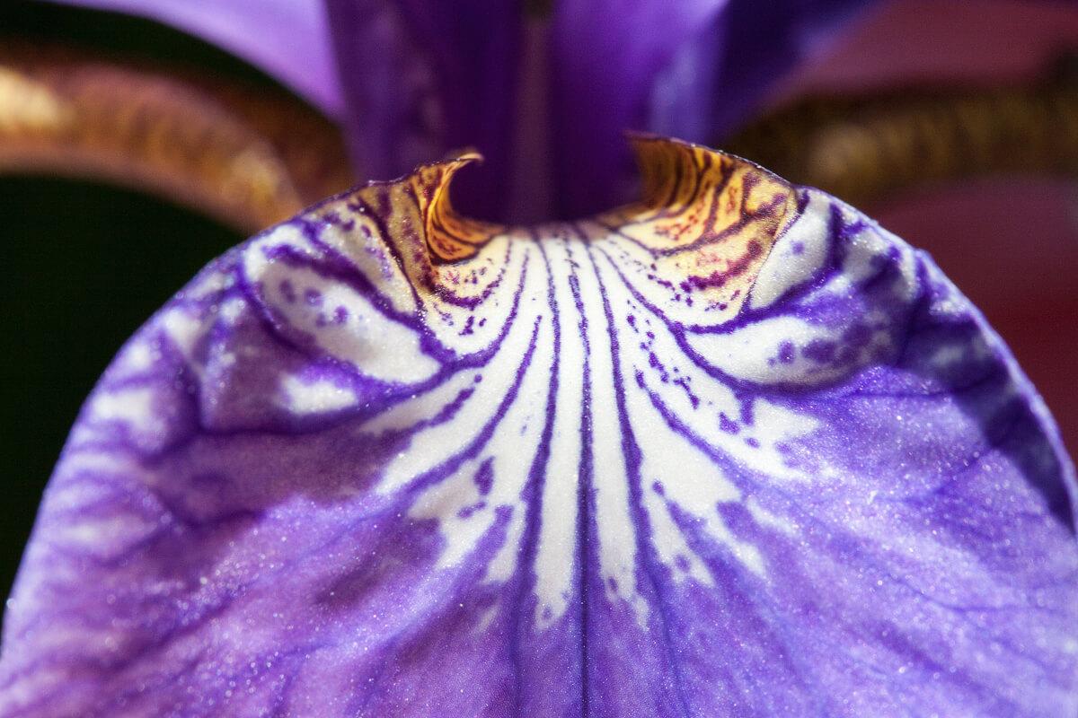 アヤメの花の拡大