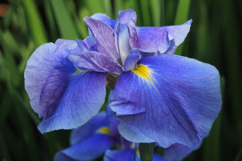 ハナショウブの花の拡大
