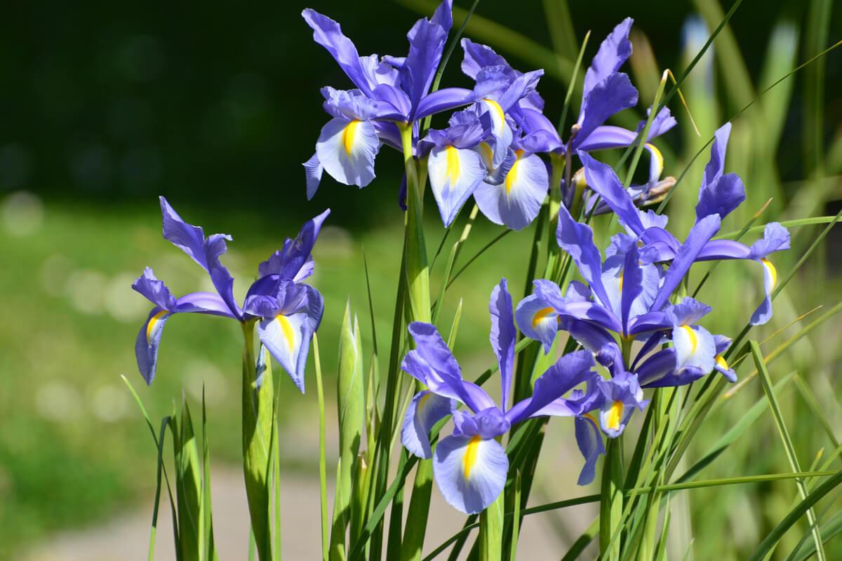ハナショウブの青い花