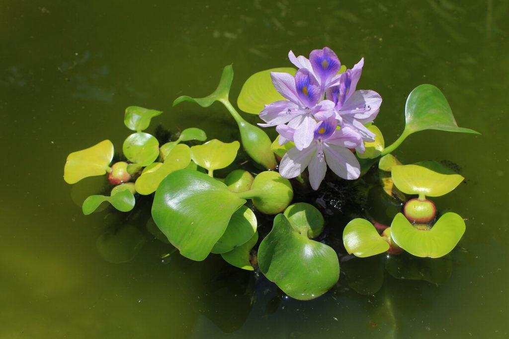 水の上に咲くホテイアオイ