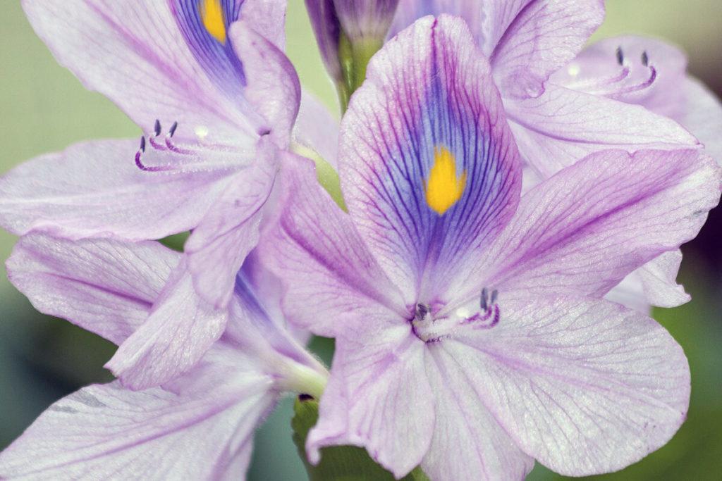 ホテイアオイの花の拡大