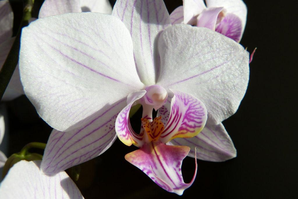 コチョウランの花の拡大