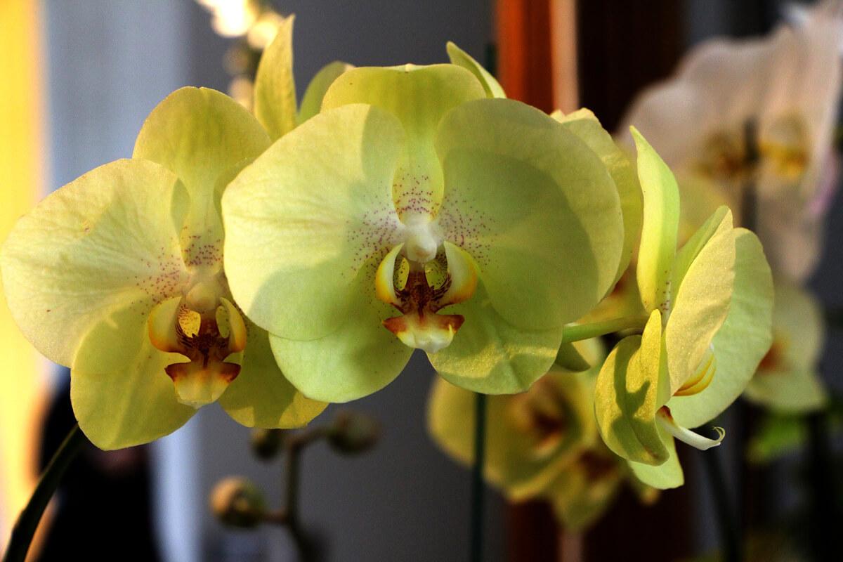 コチョウランの黄色い花