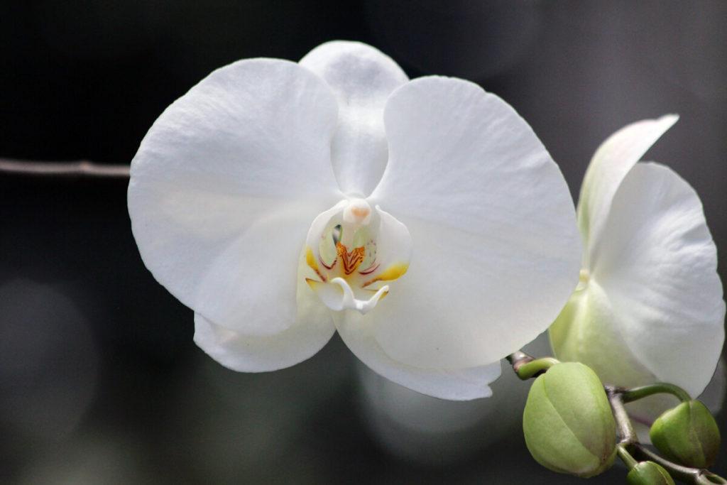 胡蝶蘭の白い花