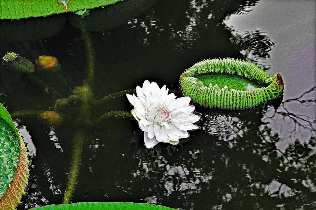 水に浮くオオオニバスの花