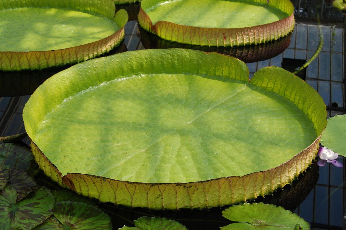 オオオニバスの葉