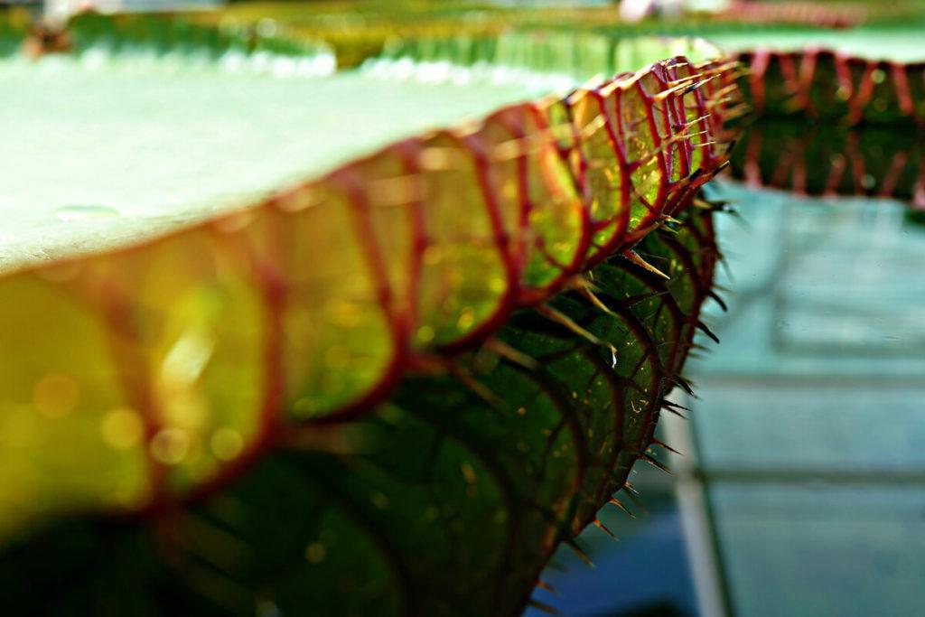 オオオニバスの葉のトゲ