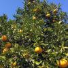 ナツミカンの実った果実