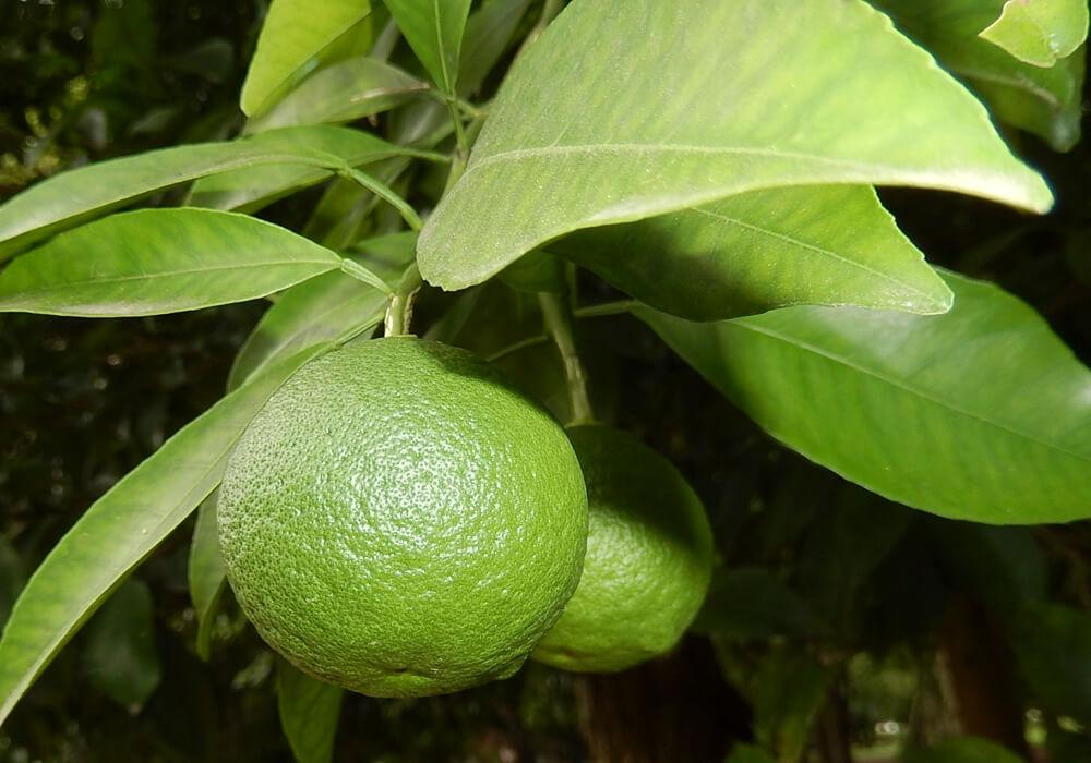 緑のナツミカンの果実