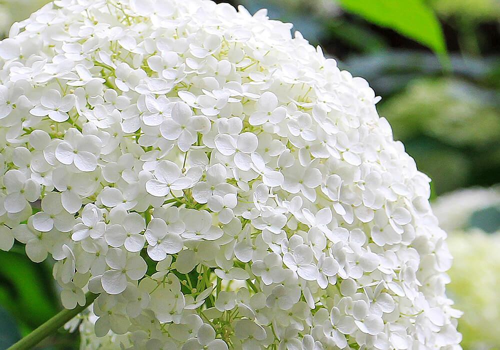 アジサイの白い花