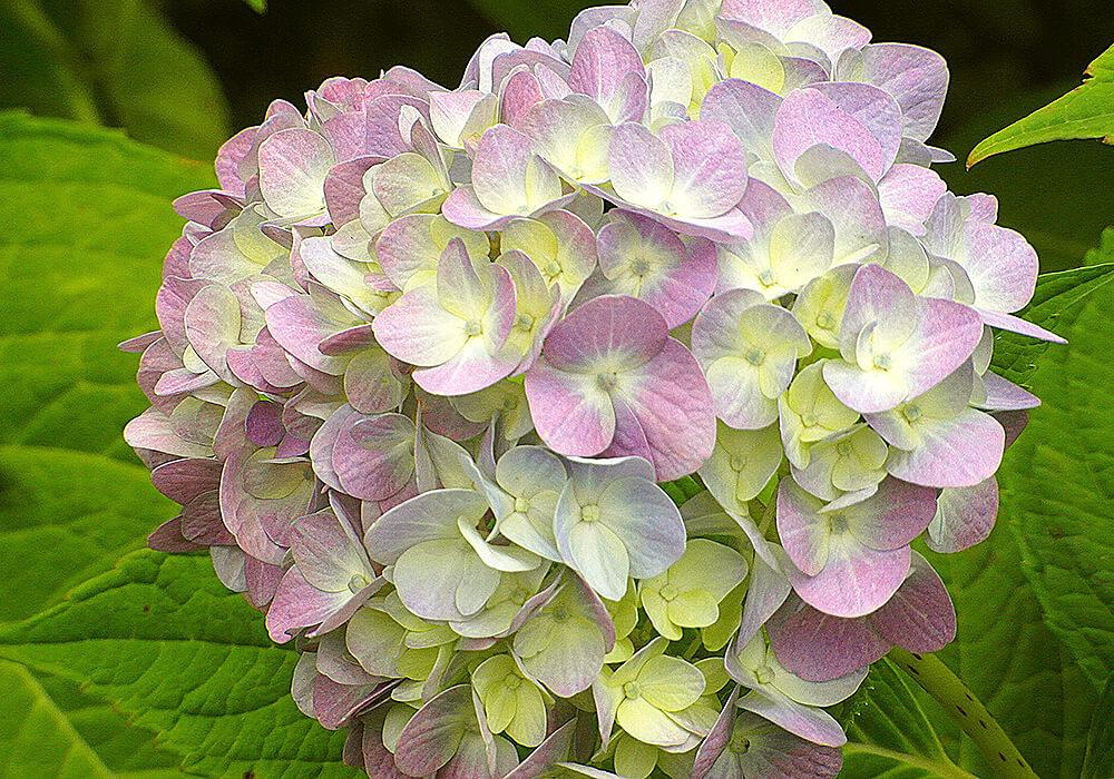 アジサイの複色の花