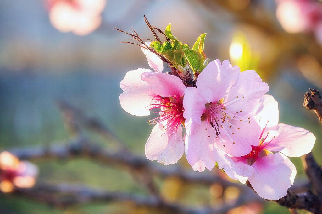 ピンク色のアーモンドの花