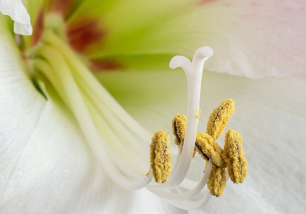 アマリリスの花のマクロ
