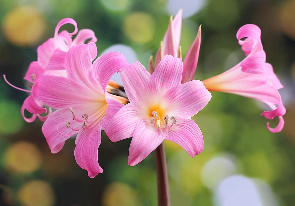 アマリリスのピンクの花