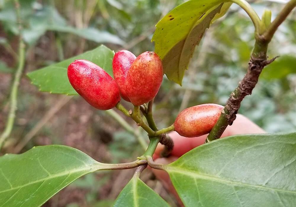 アオキの果実