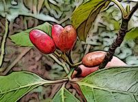 アオキの植物図鑑と育て方