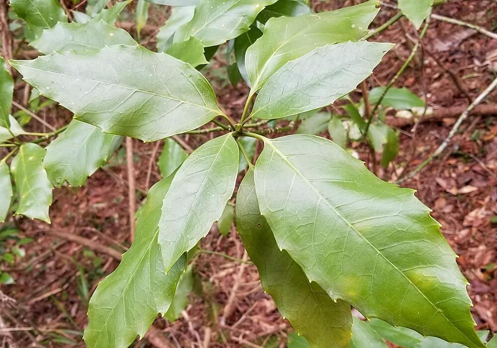 アオキの葉