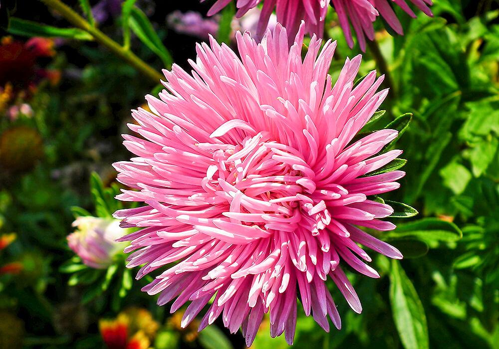 アスターのピンクの花