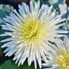 アスターの白い花