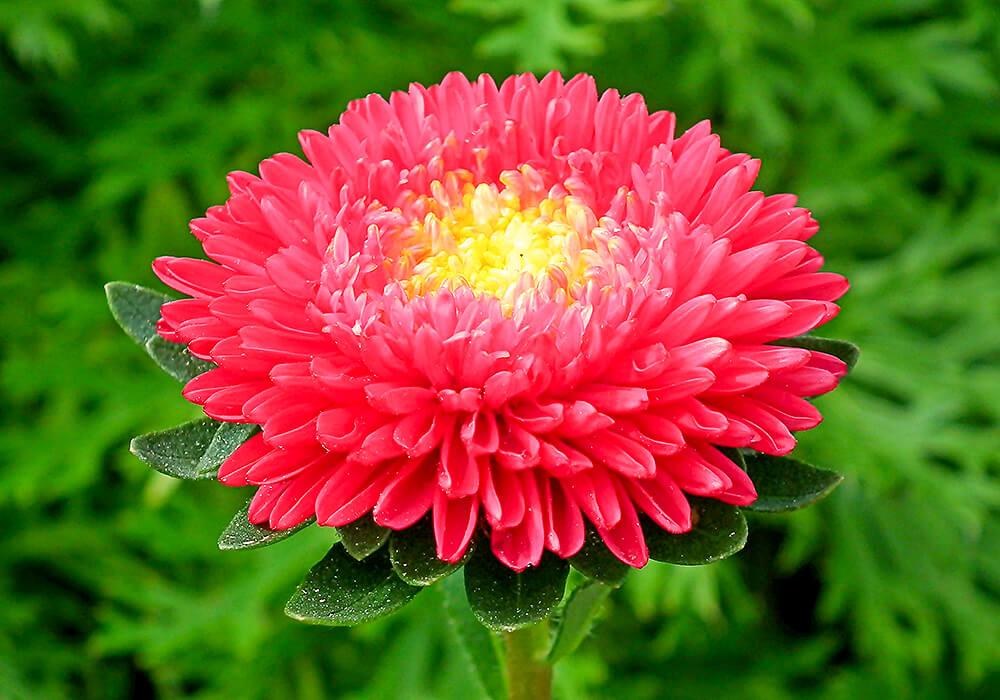 アスターの赤い花
