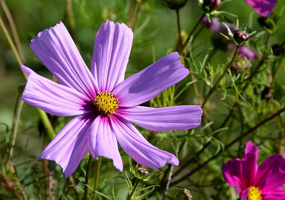 コスモスの紫の花