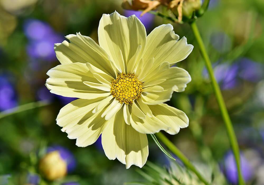 コスモスの黄色い花