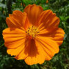 コスモスのオレンジの花