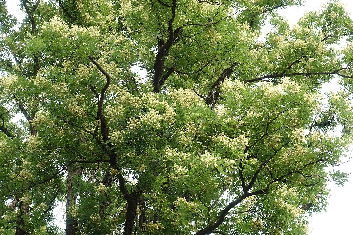 エンジュの木