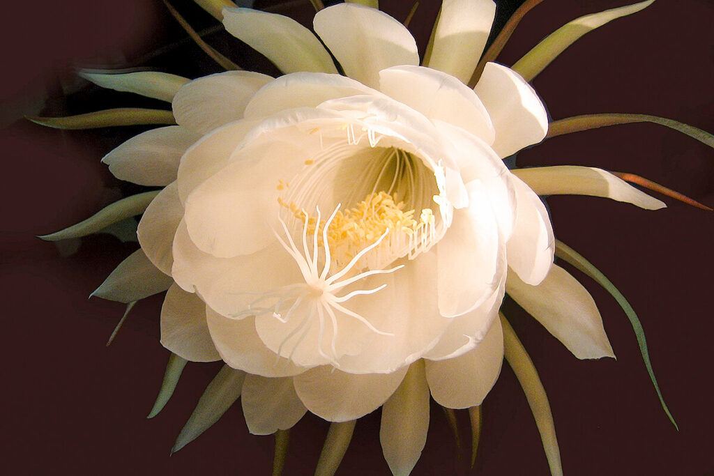 ゲッカビジンの花