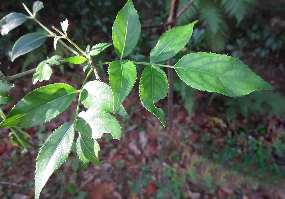 ゴンズイの葉