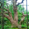 ゴヨウマツの巨木