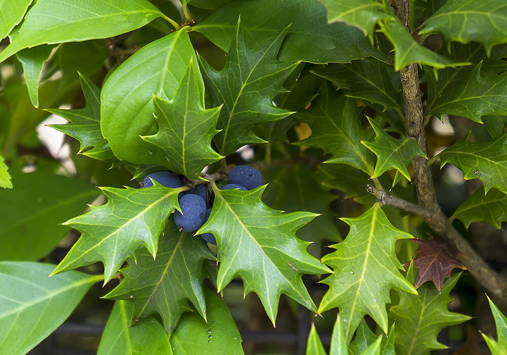 ヒイラギの果実