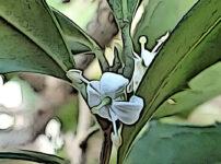 ヒイラギの植物図鑑と育て方