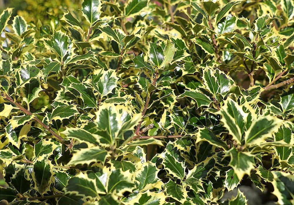 ヒイラギの班入りの葉