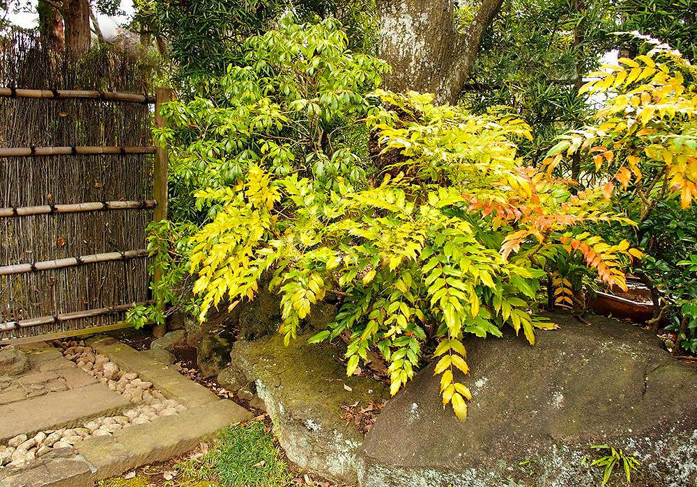 ヒイラギナンテンの木