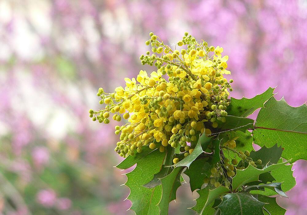 ヒイラギナンテンの花と葉