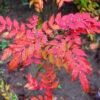 ヒイラギナンテンの紅葉