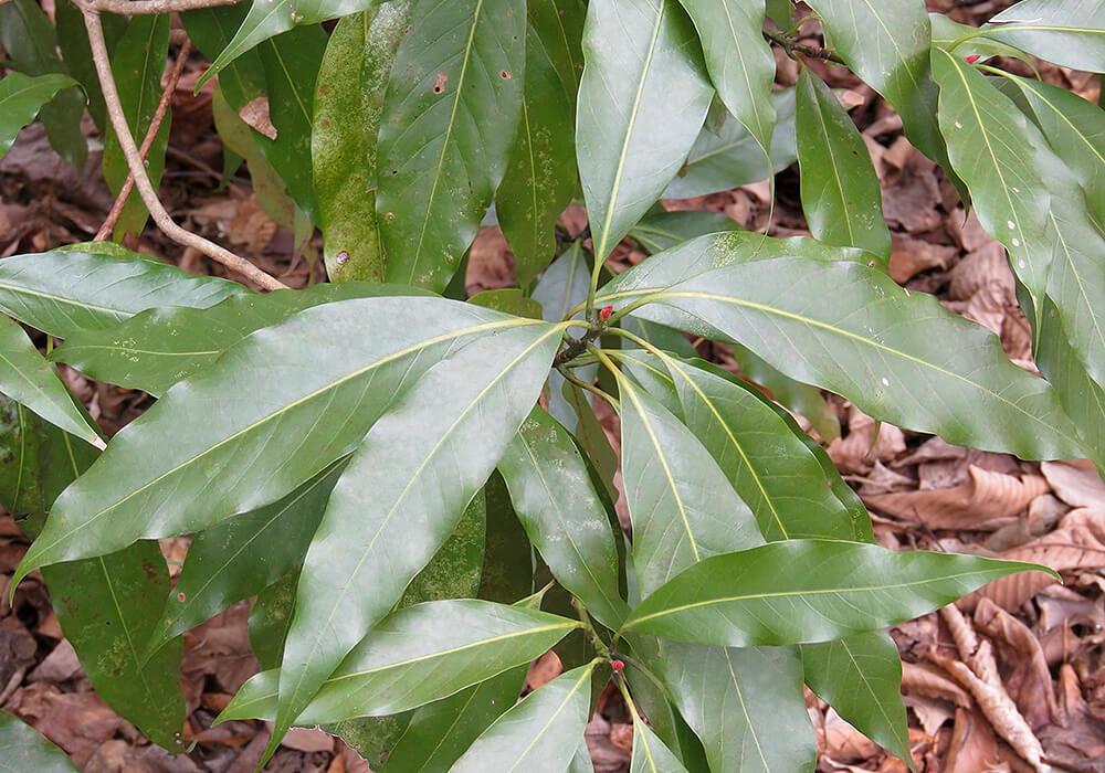 ホソバタブの葉