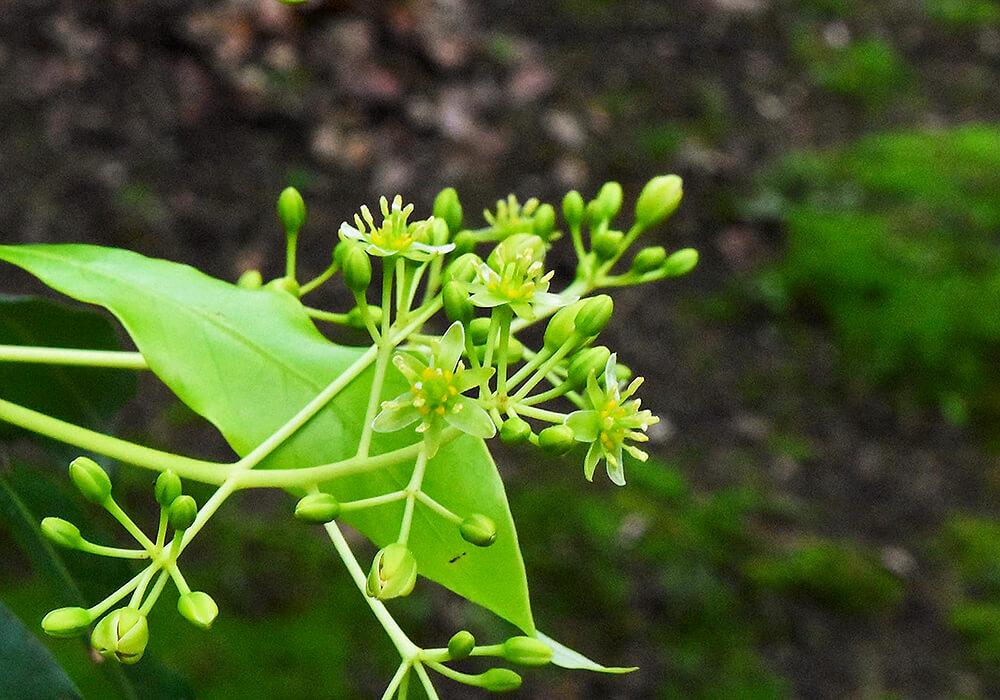 ホソバタブの花