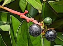 ホソバタブの植物図鑑と育て方