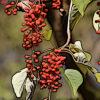 イイギリの植物図鑑と育て方