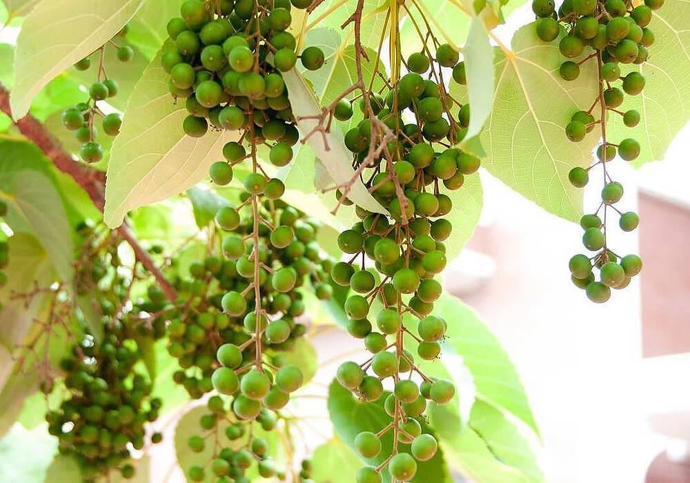 イイギリの果実