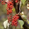 イイギリの熟した果実
