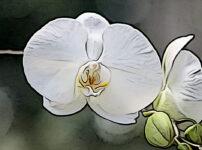 コチョウランの植物図鑑と育て方