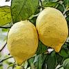 レモンの植物図鑑と育て方